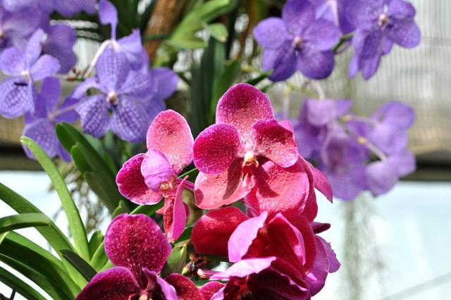 thailand orchid 49921
